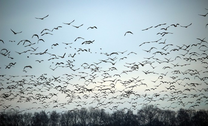 wild-geese-1150167_960_720