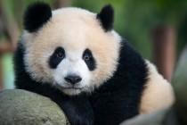 Erst stirbt der Mensch, dann der Panda