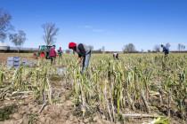 Corona-Groteske: Das Konzeptpapier der Regierung für Erntehelfer