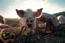 """Was die Bundeszentrale für politische Bildung aus der """"Farm der Tiere"""" macht"""