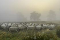 Maaßen, die Partei-Schafe und Miss Maple